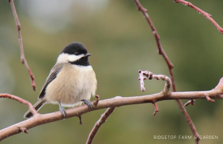Ridgetop Farm and Garden   2017 Great Backyard Bird Count   GBBC   Black-capped Chickadee
