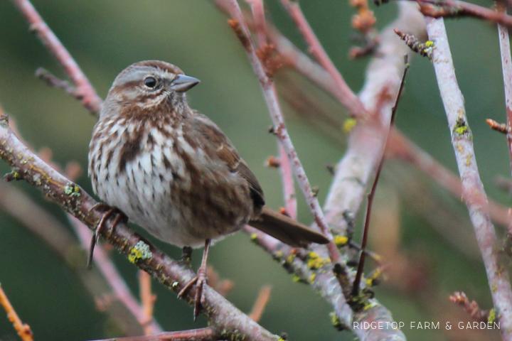Ridgetop Farm and Garden   2017 Great Backyard Bird Count   GBBC   Song Sparrow