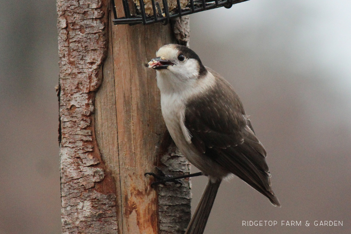 Ridgetop Farm and Garden | Birds 'round Here | Gray Jay