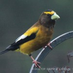 Birds 'round Here: Evening Grosbeak