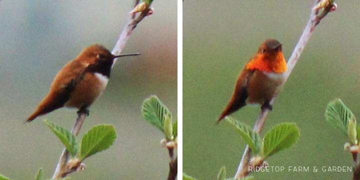 Ridgetop Farm and Garden | Birds 'Round Here | Rufous Hummingbird