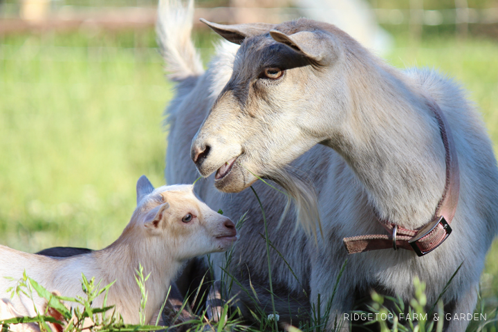 Ridgetop Farm and Garden | Our Goat Herd | Nigerian Dwarf Goat | Willow