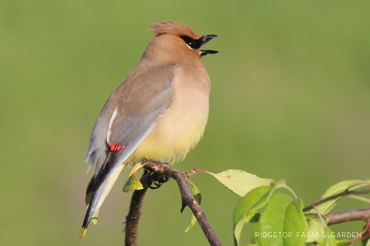 Ridgetop Farm and Garden | Birds 'Round Here | Cedar Waxwing
