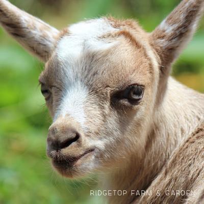 Our Goat Herd: Wingman
