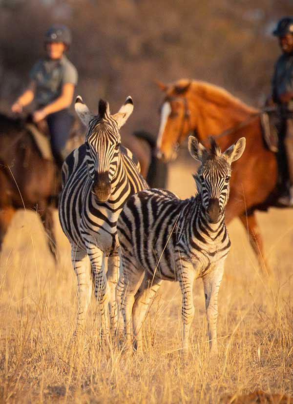 Horseback riding with zebra