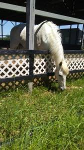 White horse nibbling on grass over fence