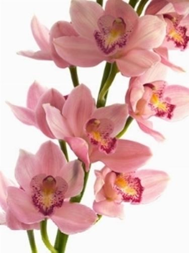 Orchidee Cymbidium  Orchidee