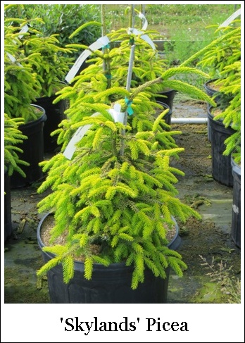 Picea  orientalis Skylands Oriental Spruce  Riggins