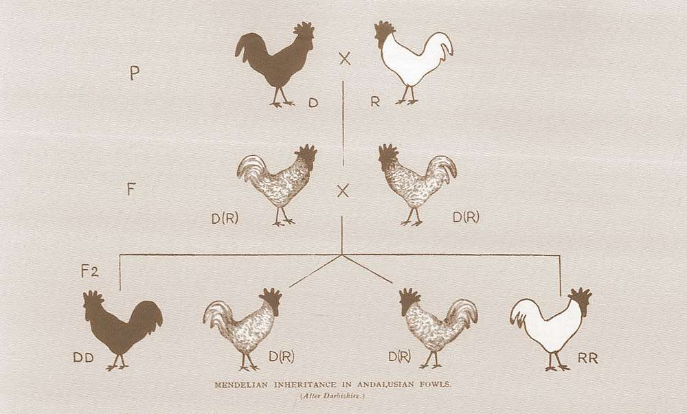 Mendelian Inheritance in Andalusian Fowls - Cross-breeding Experiments by Gregor Mendel