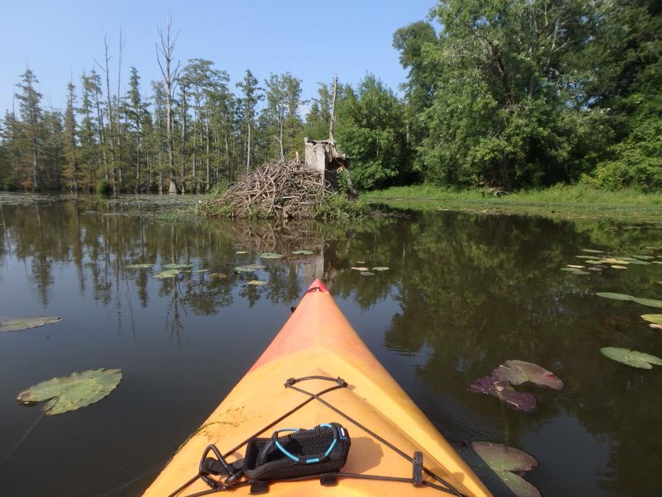 A beaver dam along