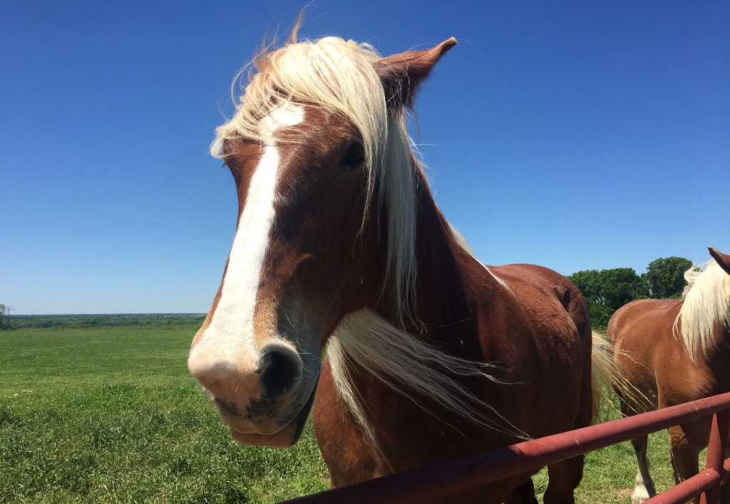 A Belgian horse gets to know me along the Texas Bluebonnet Trail in Ennis, Texas