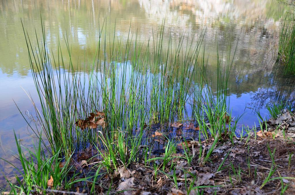 reeds growing in the lake are shown