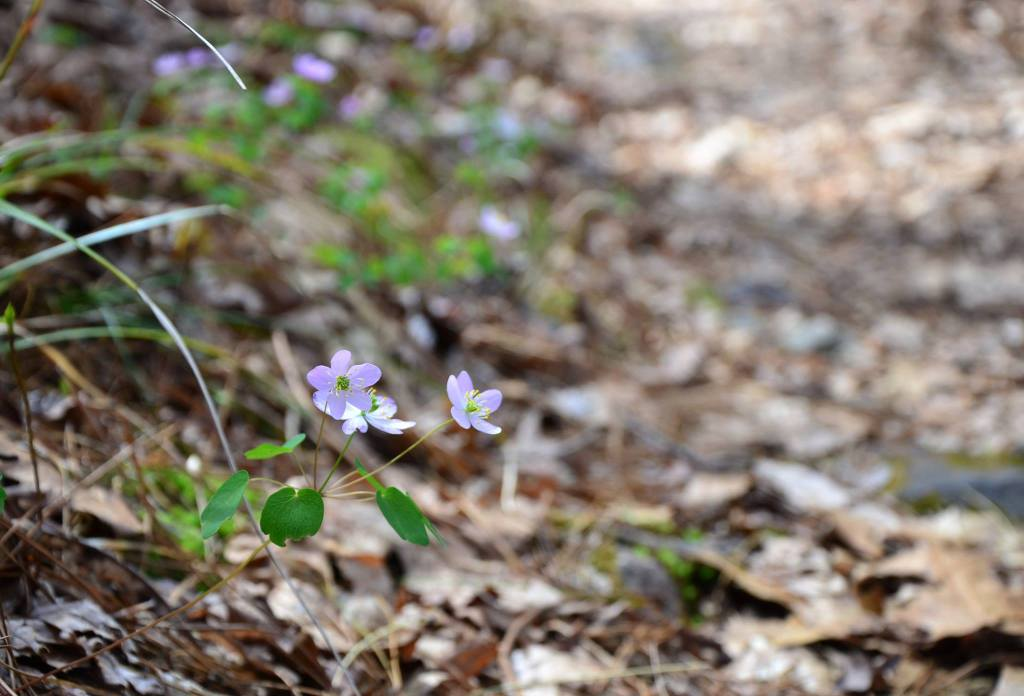 Spring flowers poke through the leave litter from winter along the extended Lake Sylvia Loop Trail