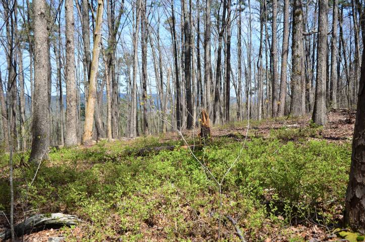 Once you descend Chinquapin Mountain you are back in the open forest