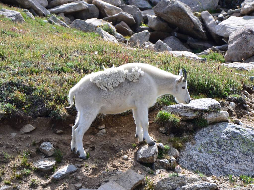A mountain goat is seen in Colorado. I also viewed this beauty from the safety of my vehicle putting into practice Leave No Trace Principle 6 – Respect Wildlife