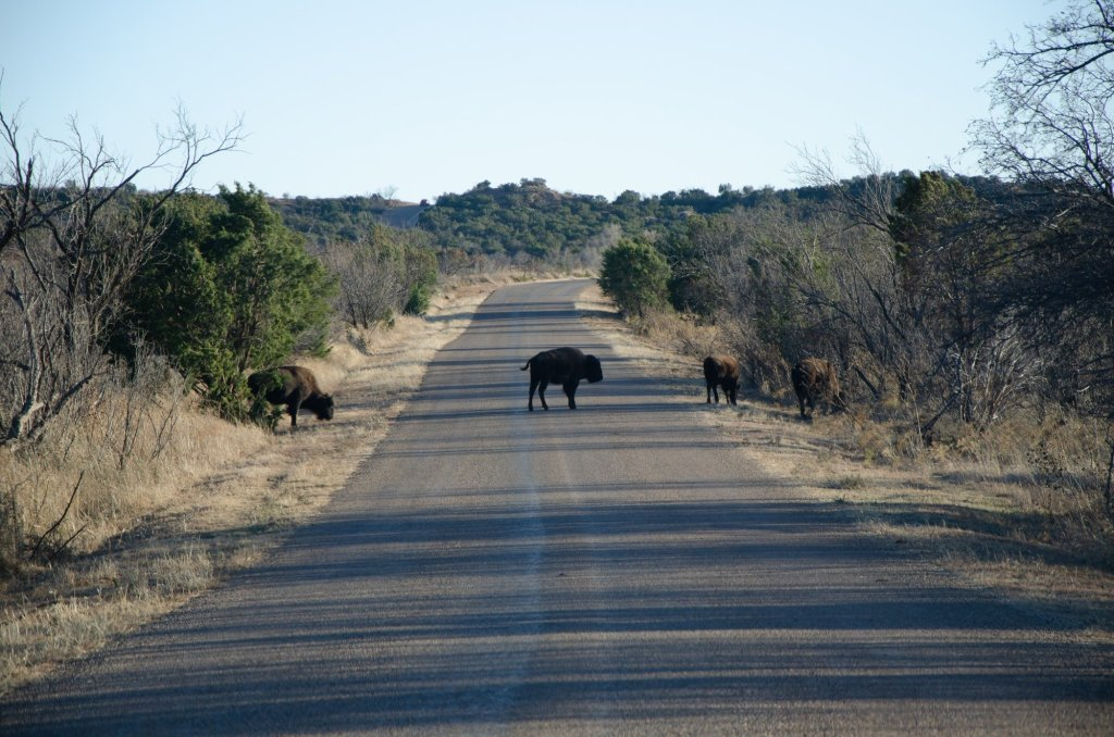 Bison make their way across the road