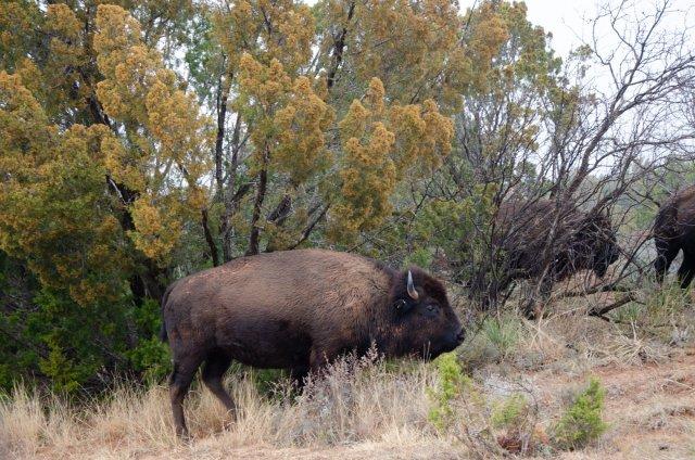 A bison climbs a hill