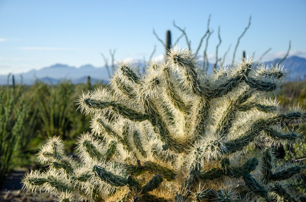 A cholla is shown on the Victoria Mine Trail