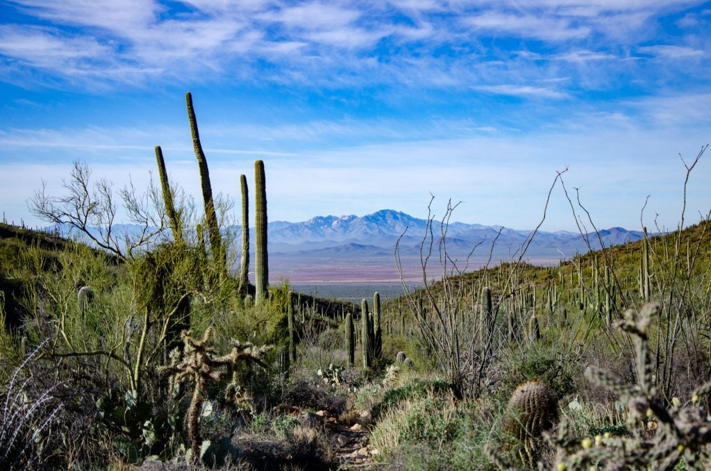 Saguaros are shown on the Wasson Peak Loop Trail