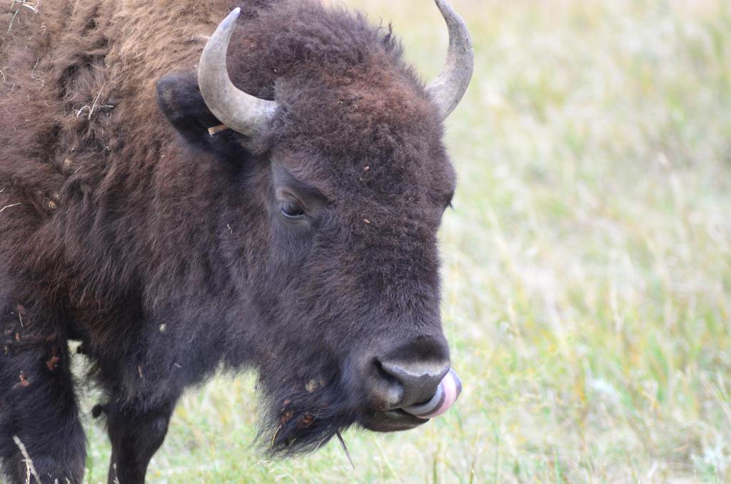 A bison licks his nose at Custer State Park in South Dakota