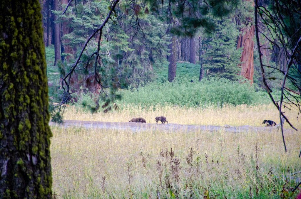 Bears make their way across Crescent Meadow