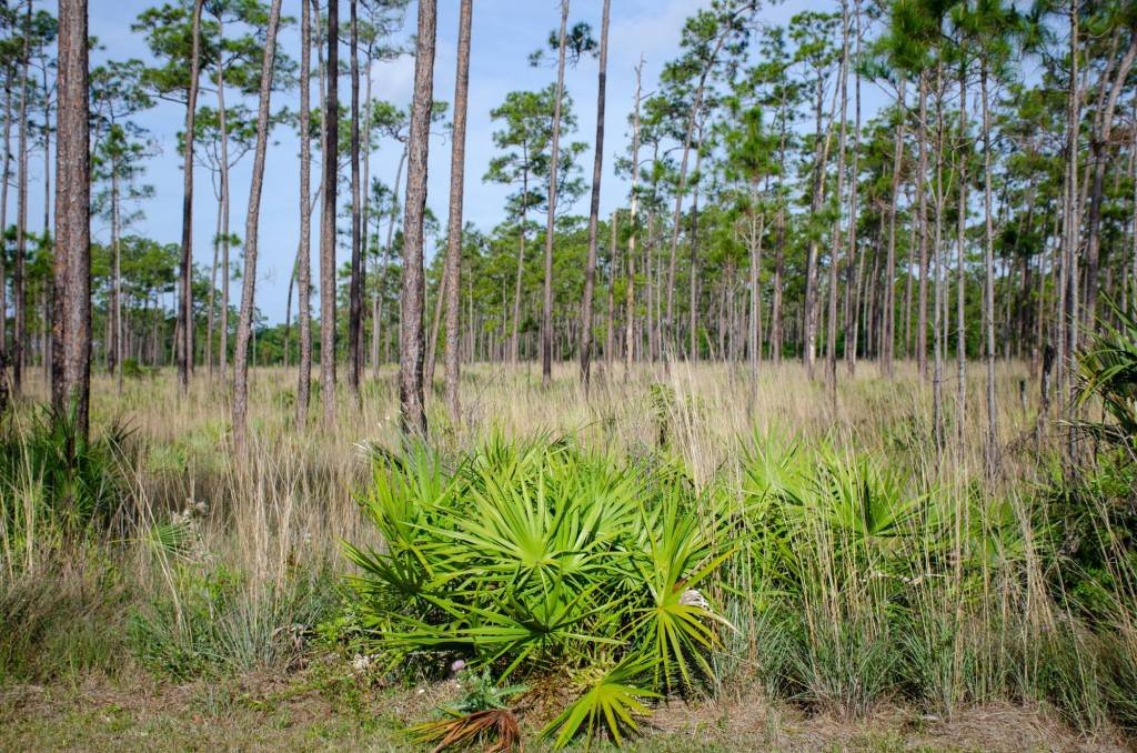 Pinelands are shown at Everglades National Park