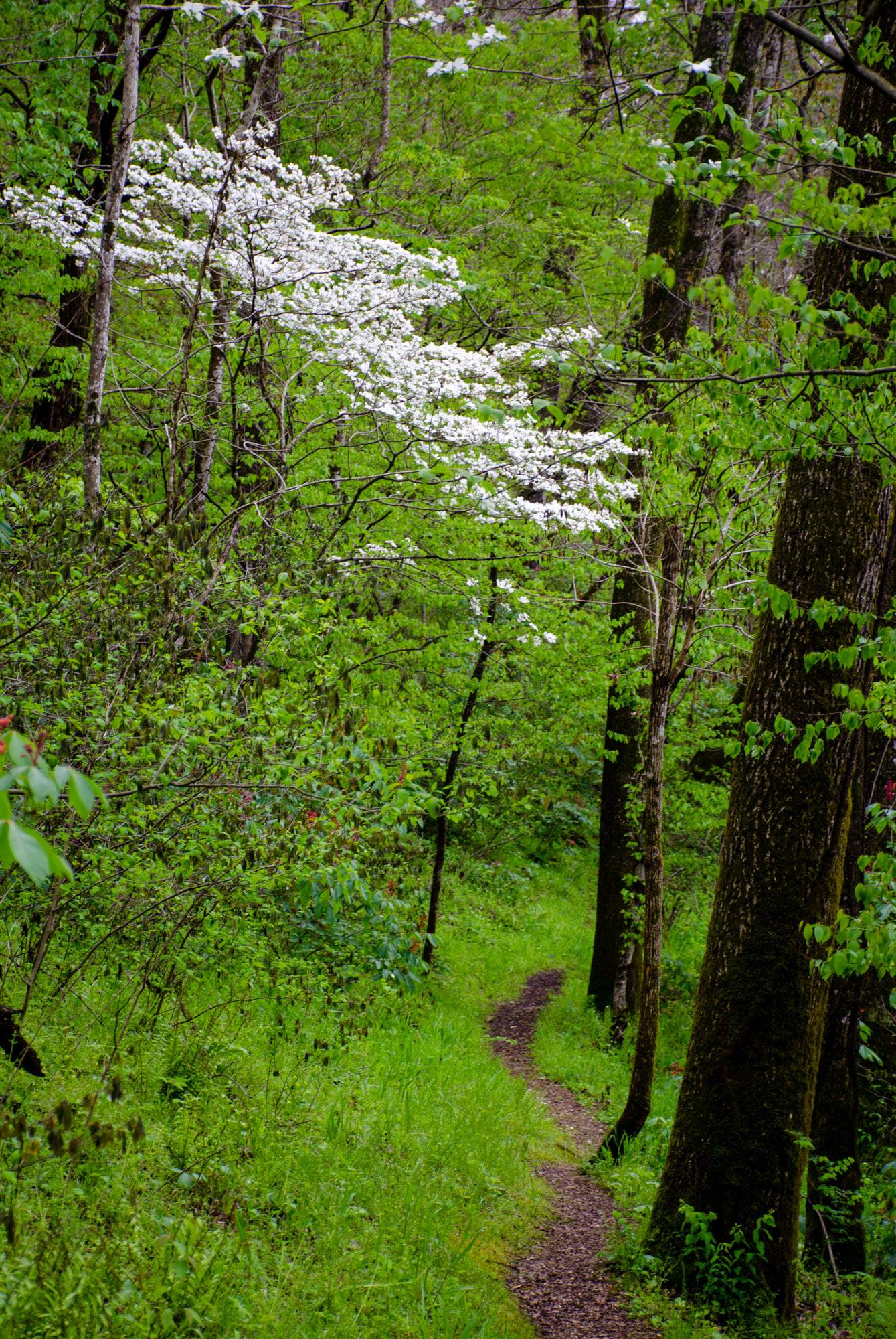 A dogwood is shown on the Riverview Trail at the Buffalo River
