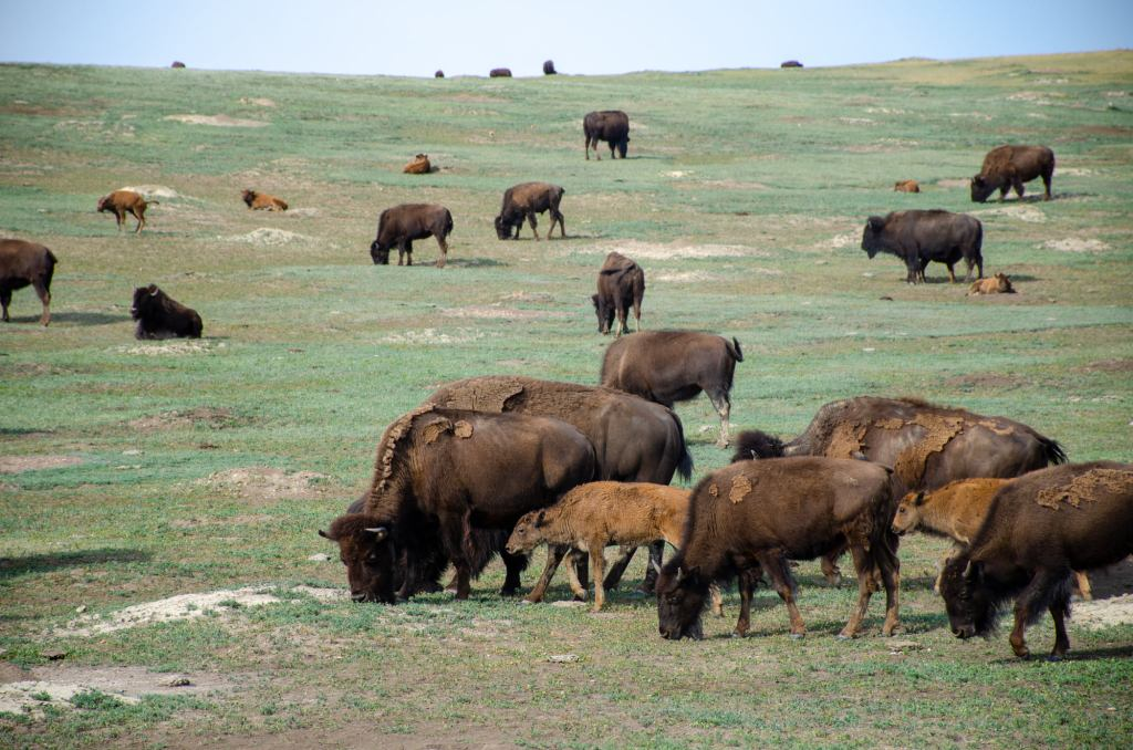 A heard of bison are shown