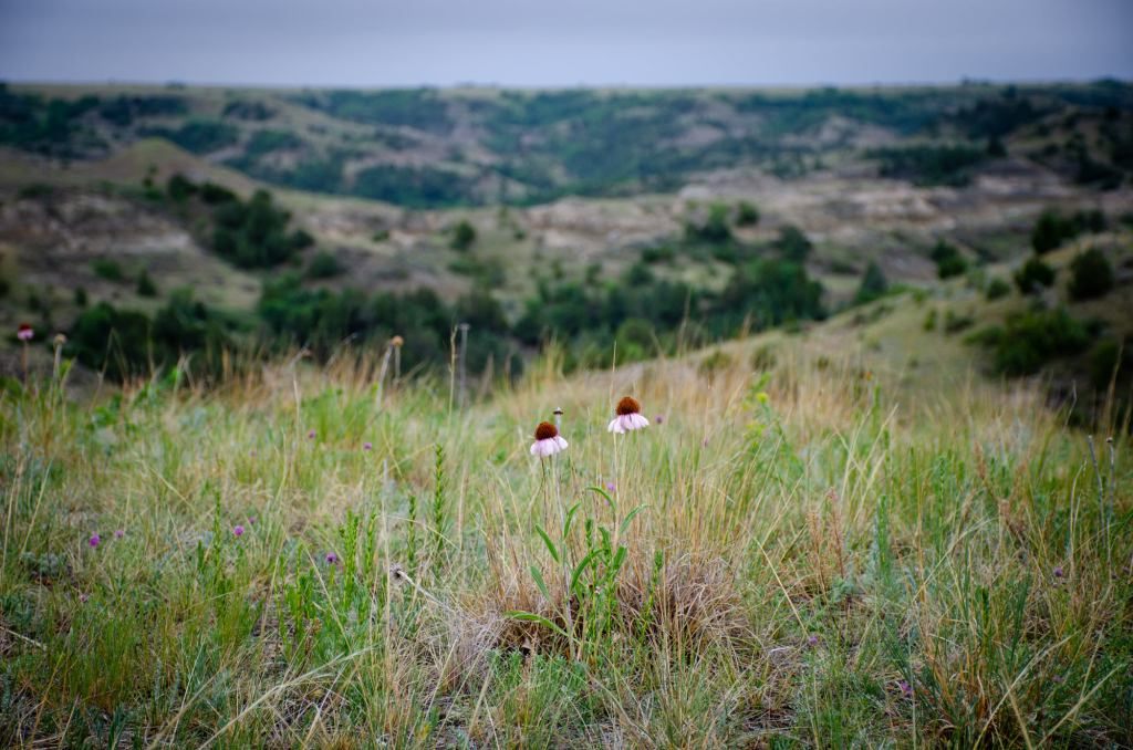 Wildflowers are shown on the Petrified Forest Loop at Theodore Roosevelt National Park