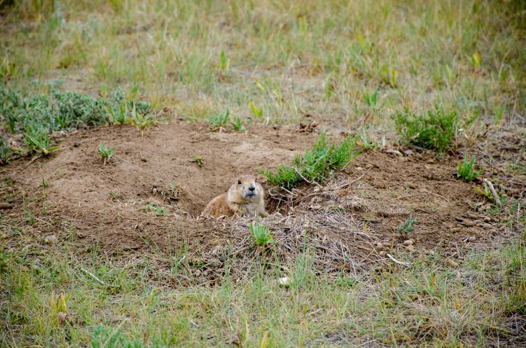 A prairie dog is shown