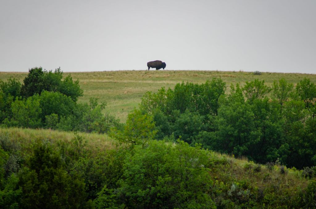 A bison is shown in the distance