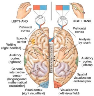 left side brain functions diagram wiring for light and switch right wrong handedness the hemispheres functional specialization