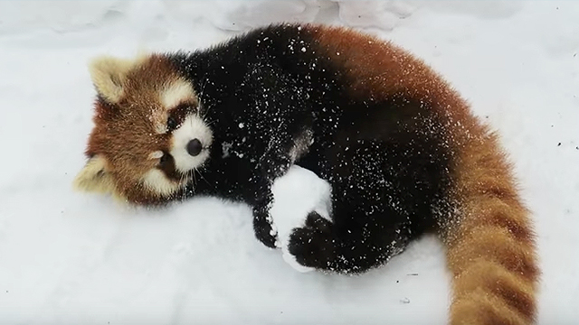 Cute Baby Red Panda Wallpaper We Love This Red Panda In The Snow And These Cute Zoo