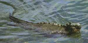 Marine Iguana (photo by Leslie)