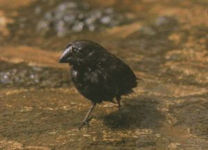 large billed ground finch