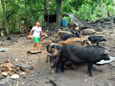Denis feeding his semi-wild semi-domesticated pigs.