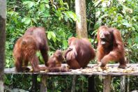 Two females, baby and adolescent male orangutans at feeding station, Tanjung Putting National Park, Kalimantan, Indonesia.