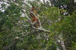 Two male proboscis monkeys