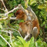 Upclose view of female proboscis monkey and baby.