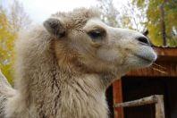 Die einheimische Tierwelt wie Wolf, Braunbär, sibirischer Tiger, Luchs, Kamel u.v.w. findet man im angegliederten Tierpark
