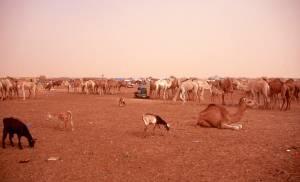 Östlich von Nouakchott ein großer Viehmarkt mit...