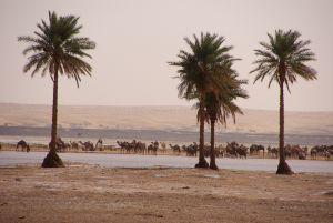 Kamelherde am See an der Piste nach Arhrijit