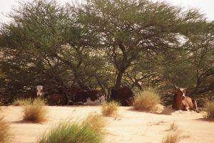 Keine Fata Morgana: Rinder mitten in der Wüste