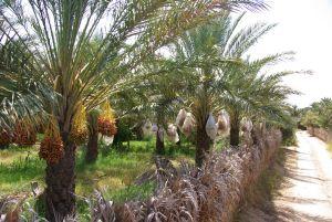Durch den Palmenhain bei Nefta...