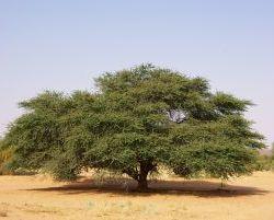 2650_Schoener Baum