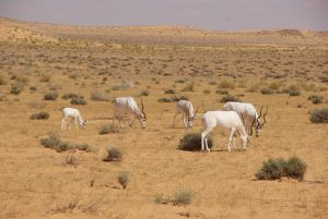 Die Weißen Gazellen des NP Djebil