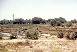 Reisfelder in der Oase Dakhla