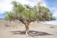 ...mit ehrwürdigen Saxaul-Bäumen - Überlebenskünstler der Wüste