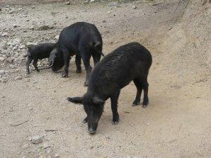 ...und abseits der Straße den schwarzen Schweinen die große Freiheit.