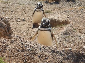 ...eine Kolonie Magellan-Pinguine,...